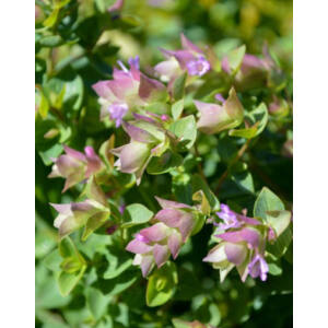 Origanum rotundifolium 'Dingle Fairy' – Oregánó (kereklevelű szurokfű)