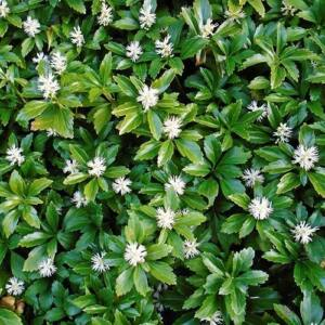 Pachysandra terminalis 'Green Carpet' - Japán kövérke