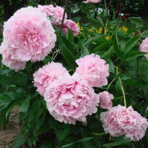 Paeonia 'Albert Crousse' – Bazsarózsa