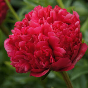 Paeonia 'Command Performance' – Bazsarózsa