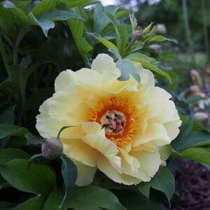 Paeonia itoh 'Garden Treasure' – Itoh bazsarózsa