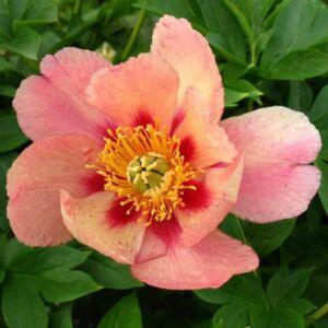 Paeonia itoh 'Old Rose Dandy' – Itoh bazsarózsa