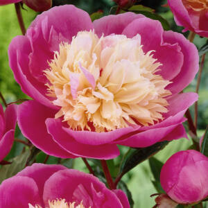 Paeonia lactiflora 'Bowl of Beauty' – Illatos bazsarózsa