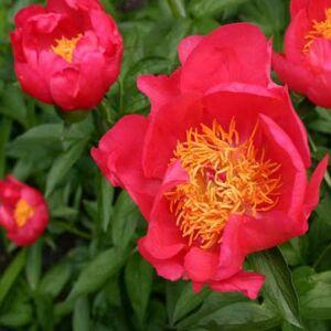 Paeonia lactiflora 'Flame' – Illatos bazsarózsa
