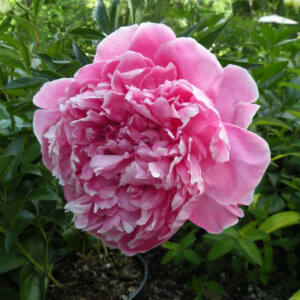 Paeonia lactiflora 'Koningin Wilhelmina' – Illatos bazsarózsa