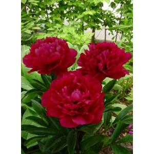 Paeonia lactiflora 'Red Magic' - Élénkvörös illatos bazsarózsa