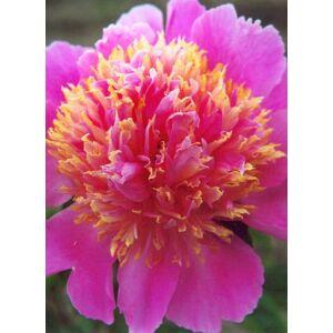 Paeonia lactiflora 'Tom Eckhardt' – Illatos bazsarózsa