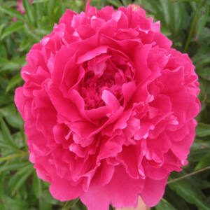 Paeonia 'Pink Supreme' – Bazsarózsa