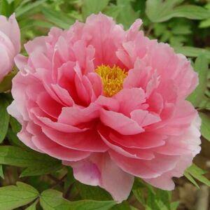 Paeonia suffruticosa – Fás bazsarózsa