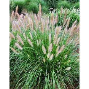 Pennisetum alupecuroides – Tollborzfű