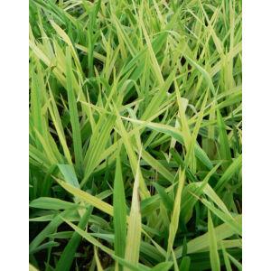 Phalaris arundinacea 'Arctic Sun' – Pántlikafű