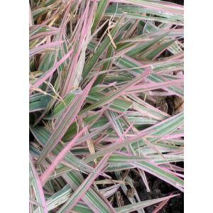 Phalaris arundinacea 'Dwarf Garters' – Csíkos pántlikafű
