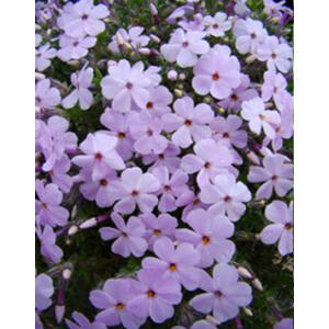 Phlox douglasii 'Lilac Cloud' - Törpe lángvirág (halványlila)