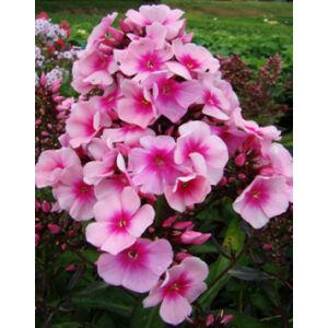 Phlox paniculata 'Bright Eyes' – Bugás lángvirág