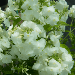Phlox paniculata 'David' - Fehér bugás lángvirág