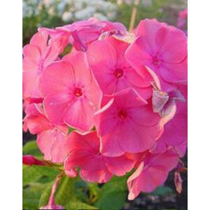 Phlox paniculata 'Rijnstroom' - Rózsaszín bugás lángvirág