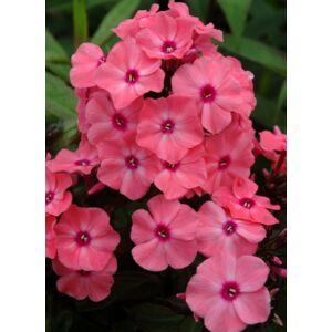 Phlox paniculata 'Sweet Summer Dream' - Bugás lángvirág (rózsaszín)