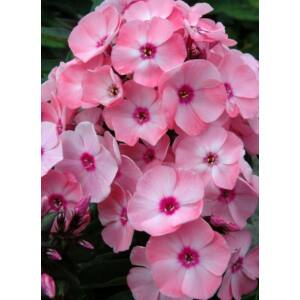 Phlox paniculata 'Sweet Summer Queen' - Bugás lángvirág