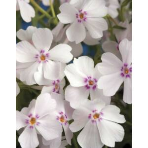 Phlox subulata 'Amazing Grace White with Eye' – Árlevelű lángvirág