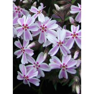Phlox subulata 'Candy Stripes' - Árlevelű lángvirág