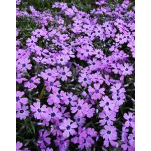 Phlox subulata 'Purple Beauty' - Árlevelű lángvirág (bíborlila)