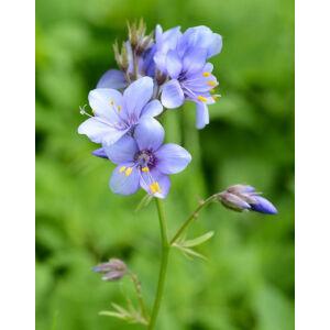 Polemonium caeruleum – Csatavirág