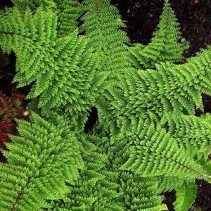 Polystichum setiferum 'Plumoso - densum' - Díszes vesepáfrány