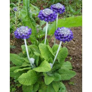 Primula capitata 'Noverna Deep Blue' – Kerekfejű himalája kankalin