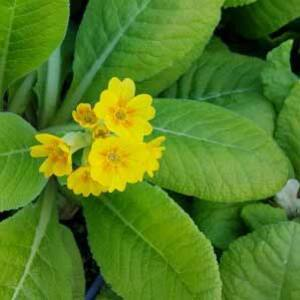 Primula veris 'Bright Deep Yellow' – Tavaszi kankalin