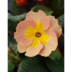 Primula veris 'Goldnugget Apricot' - Tavaszi kankalin