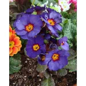 Primula veris 'Goldnugget Blue' - Tavaszi kankalin