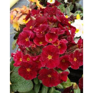 Primula veris 'Goldnugget Red' - Tavaszi kankalin
