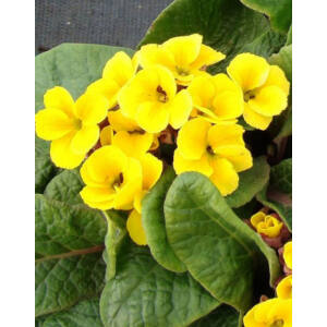 Primula veris 'Goldnugget Yellow' - Tavaszi kankalin