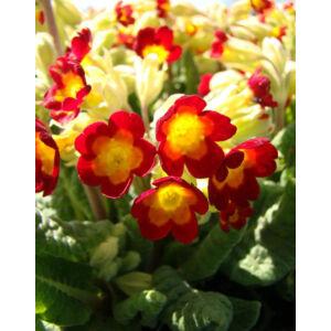 Primula veris 'Orange with Yellow' - Tavaszi kankalin