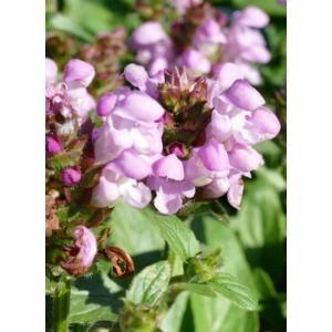 Prunella grandiflora 'Loveliness Pink' - Nagyvirágú gyíkfű