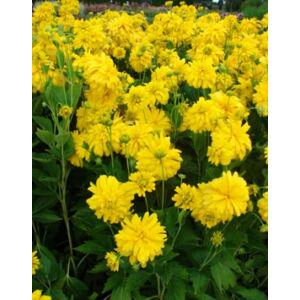 Rudbeckia laciniata 'Goldquelle' – Magas kúpvirág, aranylabda