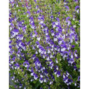 Salvia 'Madeline' - Ligeti zsálya