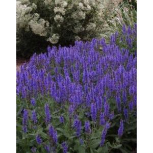 Salvia nemorosa 'Blauhügel' - Ligeti zsálya