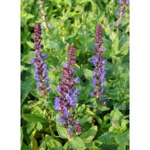 Salvia nemorosa 'Blaukönigin' – Ligeti zsálya