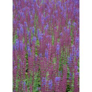Salvia nemorosa 'Jan Spruyt' - Ligeti zsálya