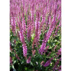 Salvia nemorosa 'Pink Beauty' – Ligeti zsálya