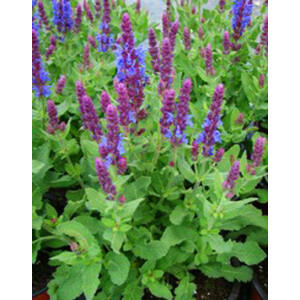 Salvia nemorosa 'Sensation Compact Sky Blue' - Ligeti zsálya