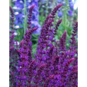 Salvia nemorosa 'Violet Queen' – Ligeti zsálya