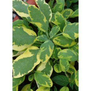 Salvia officinalis 'Icterina' – Orvosi zsálya