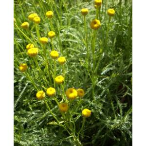 Santolina viridis (syn. S. rosmarinifolia) - Zöld cipruska