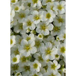 Saxifraga arendsii 'Touran Large White' - Kőtörőfű