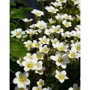 Saxifraga arendsii 'Weisser Zwerg' – Kőtörőfű (fehér)
