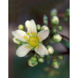Saxifraga paniculata – Fürtös kőtörőfű