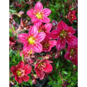 Saxifraga x arendsii 'Highlander Red' - Kőtörőfű