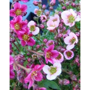 Saxifraga x arendsii 'Highlander Rose' - Kőtörőfű